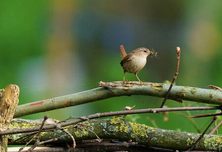 Attentive wren with feed for his chicks
