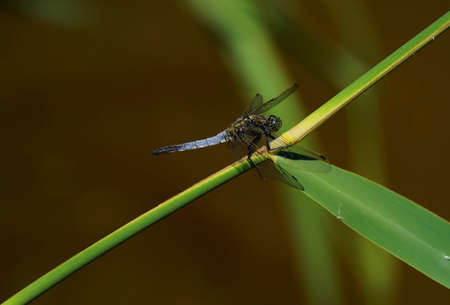Broad-bodied chaser under a blue sky in summer 写真素材