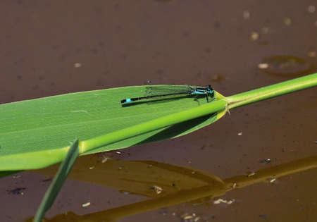 Blue-tailed damselfly, Ischnura elegans under blue sky in summer