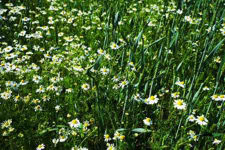 Chamomile under a blue sky in summer Stock Photo