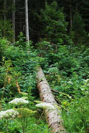 Coniferous forest in the Tyrolean Alps in summer
