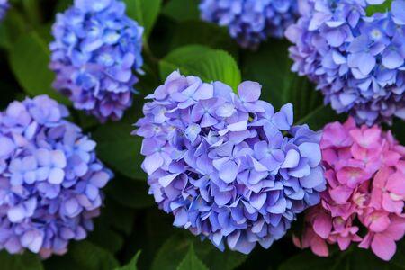 Closeup of blue and pink Hydrangeas in the garden of Huis Ten Bosch, Nagasaki, Japan