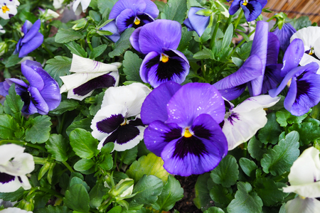 White-Purple and Purple Pansy flower bed in garden, Seoul, South Korea