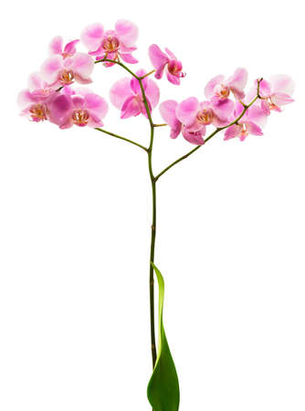 epiphyte: Pink orchid flower isolated on white