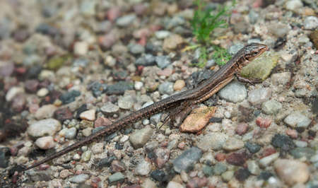 viviparous: Small lizard (viviparous lizard, Zootoca vivipara) walking on a gravel path