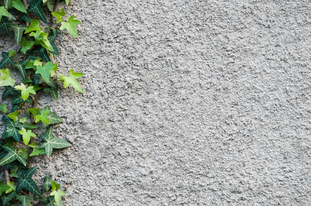 roughly: Roughly plastered gray wall with climbing ivy Hedera helix on it. Background.