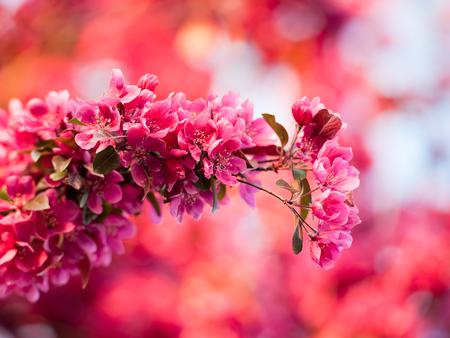 cangrejo: manzana de cangrejo púrpura Malus flor purpurea