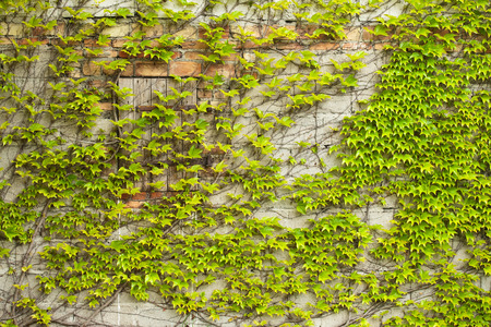 ivy wall: Boston ivy growing on a unplastered wall Stock Photo