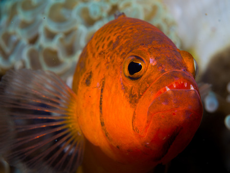 A close-up of red marine fish