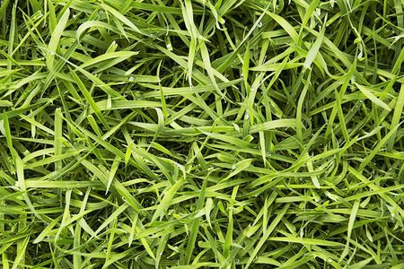 long uncut green fresh grass with drops of water
