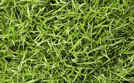 uncut: long uncut green fresh grass with drops of water