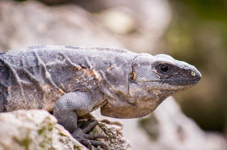 profile: Mexican iguana