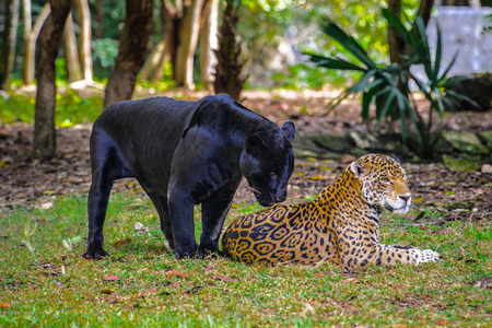 Black panther with a leopard Stock Photo