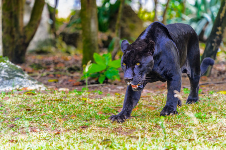 Black panther walks in the jungle