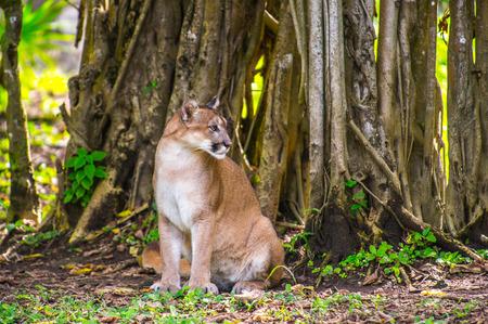 Bobcat in the jungle