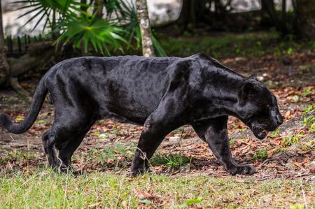 Black panther walks through the jungle