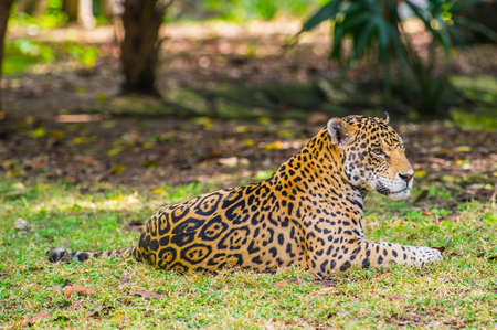 Leopard in the jungle of Mexico
