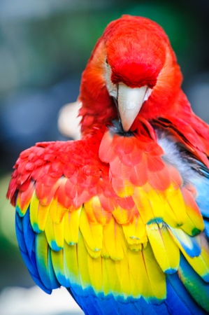 Ara parrot shows its feathers Stock Photo