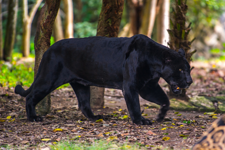 Zwarte panter loopt door de jungle