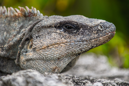 profile: Mexican iguana lying on the stone