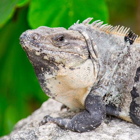 yucatan: Mexican iguana