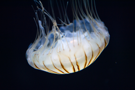 californian: Jellyfish close up in the water