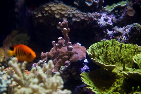 californian: Corals in the aquarium Stock Photo