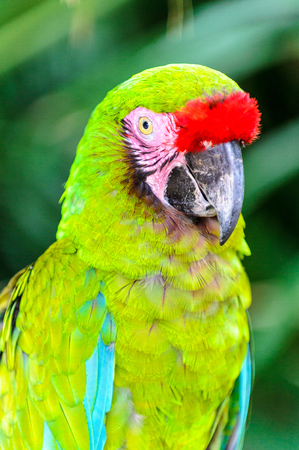 Green parrot from Latin America Stock Photo