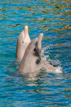 Beautiful dolphin does tricks