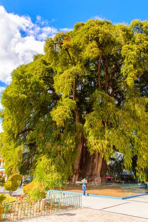 The Tree of Tule (El Arbol de Tule),  Montezuma cypress or ahuehuete in  Nahuatl.