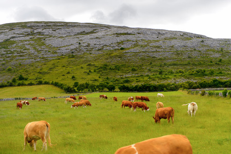 Cows and nature of Ireland. Stock Photo