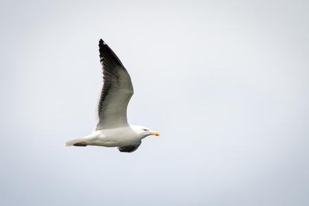 Sea gull flies in the sky