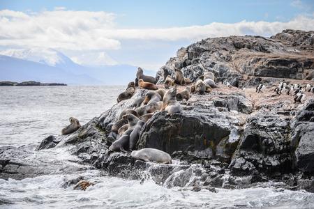 stone lion: Sea lions on the rock, Beagle Channel, Tierra del Fuego Stock Photo