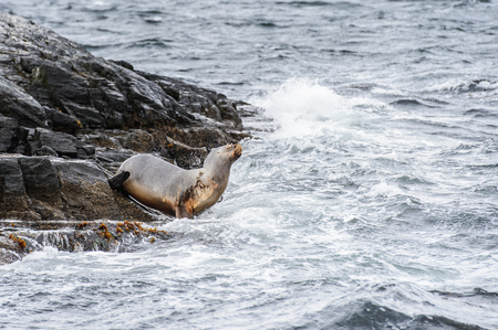 Sea lion jumps into the water