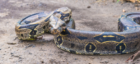 Boa constrictor on the ground in Peru