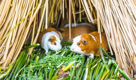 cavie: Piccola grotta, cavia, sull'erba del Perù
