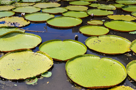 Landscape of lilly pad pond in Nieuw Amsterdam, Suriname Stock Photo