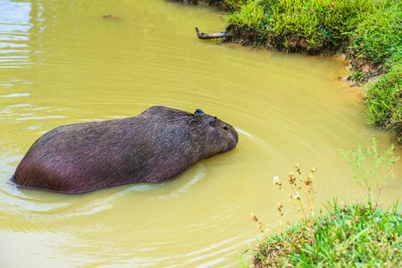 wierd: Capybara (Hydrochoerus hydrochaeris), the largest rodent in the world,jumps out of the water Stock Photo