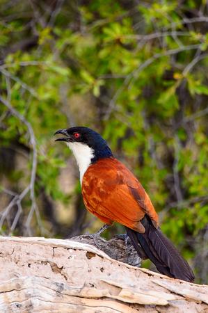 Little bird at the Moremi Game Reserve (Okavango River Delta), National Park, Botswana