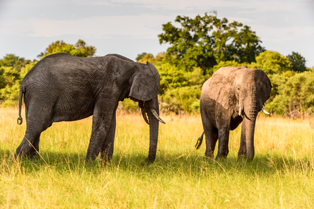 Couple of Elephants in the Moremi Game Reserve (Okavango River Delta), National Park, Botswana