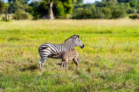 Zebra and its baby cub in the Moremi Game Reserve (Okavango River Delta), National Park, Botswana