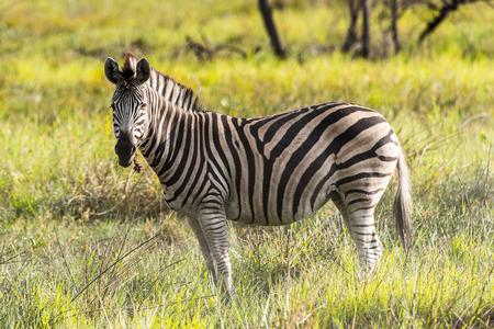 Zebras flock in the Moremi Game Reserve (Okavango River Delta), National Park, Botswana Stock Photo