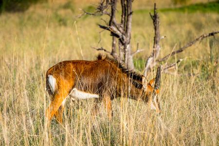Antelope in the Moremi Game Reserve (Okavango River Delta), National Park, Botswana
