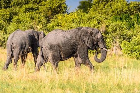 Elephant walks in the Moremi Game Reserve (Okavango River Delta), National Park, Botswana