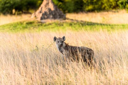 Hyena in the grass in the Moremi Game Reserve (Okavango River Delta), National Park, Botswana