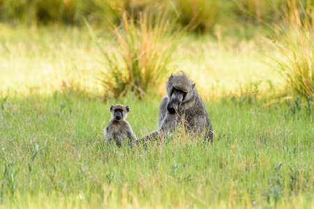 Monkeys in the Moremi Game Reserve (Okavango River Delta), National Park, Botswana Stock Photo