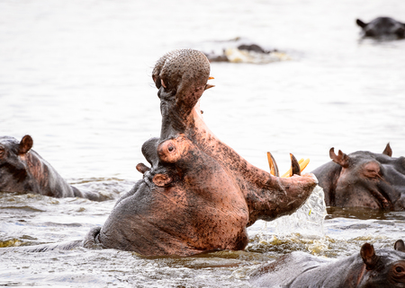 Hippopotamus with open mouth in the Moremi Game Reserve (Okavango River Delta), National Park, Botswana Stock Photo