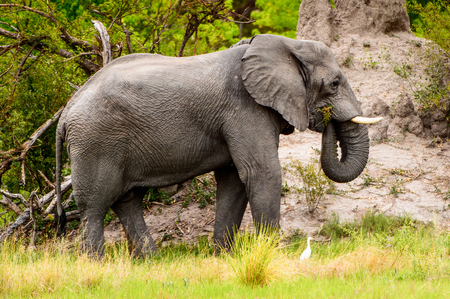 Beautiful Elephant in the Moremi Game Reserve (Okavango River Delta), National Park, Botswana Stock fotó - 84757081