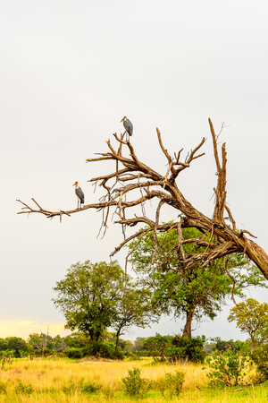 Marabou Stork on a tree at the Moremi Game Reserve (Okavango River Delta), National Park, Botswana