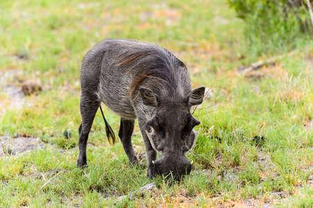 Wild boar eats grass in the Moremi Game Reserve (Okavango River Delta), National Park, Botswana Stock Photo